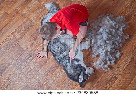 Concept Of Spring Moulting Dogs. Boy In Red Shirt Comb Wool With Siberian Husky. Husky Dog Black And