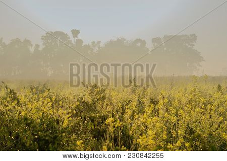 Sun Rises In The Background, Sunrays Falling Over A Green Agriculture Field Of Mustard Flowers. Rura