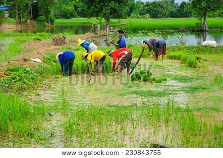 Sukhothai, Thailand - June 5, 2011: Group Of Farmers Growing Rice On Farmland In Sukhothai, Thailand