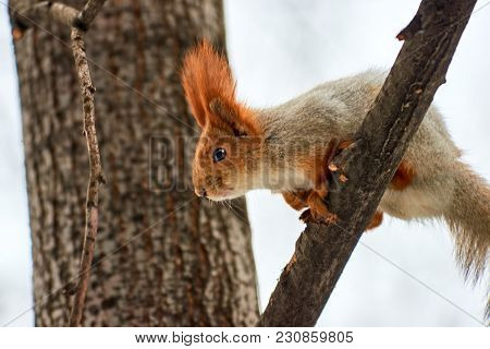 The Squirrel.  Squirrels Are Members Of The Family Sciuridae, A Family That Includes Small Rodents.