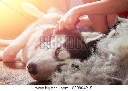 Concept Moulting Dogs. Owner Comb Wool With Siberian Husky. Husky Dog Black And White With Blue Eyes