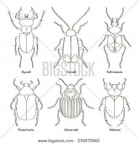 Set Of Beetle Illustrations. Vector Illustration, Eps 10