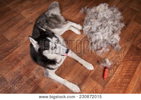 Concept Annual Molt, Coat Shedding, Moulting Dogs. Siberian Husky Lies On Wooden Floor Next To Piles