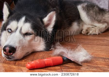 Concept Annual Molt, Coat Shedding, Moulting Dog. Siberian Husky Lies On Wooden Floor Next To Red Ra