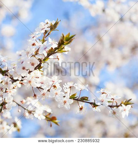 Spring beauty. Blooming white Flowers of trees on the blue sky background. Spring blossom, nature background