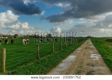 Cows Grazing On Grassy Green Field Near The Dirt Country Road In Normandy, France. Countryside Lands