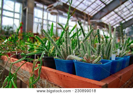 Growing Cacti In Greenhouse. Young Small Succulent Plants Stand On Large Racks.