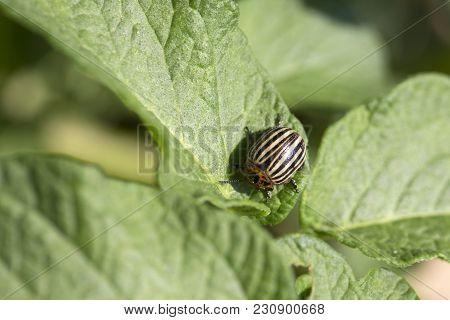 Colorado Potato Beetle, Harvest. Colorado Potato Beetle On Leaf