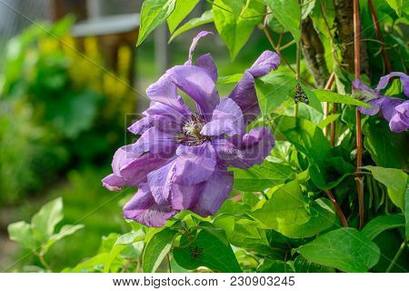 Beautiful Purple And Violet Clematis In Summer Garden. Close Up.