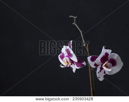 Ultra Violet Orchid  With Water Drops On Dark Background