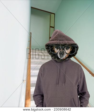 cute chihuahua dressed as a hipster with a hoody on steps and a wooden hand rail in an old building with natural light