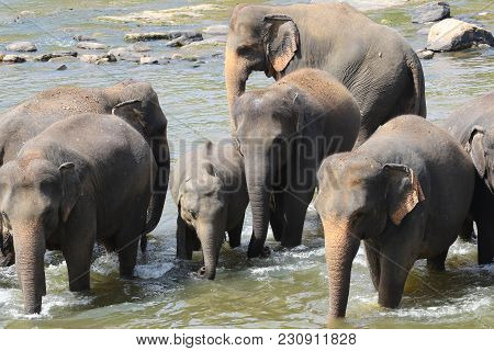 Heard Of Asian Elephants Bathing In River In Ceylon