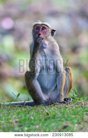 Female Macaque Monkey Macaca Sinica Is Sitting And Thinking
