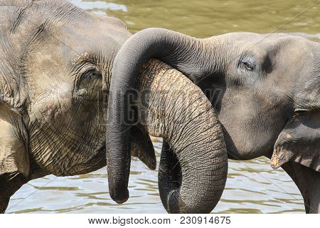 Asian Baby Elephant Elephas Maximus Hug Mother With Trunk, Lowe