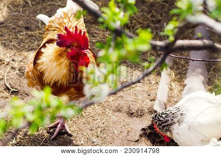The Rooster In The Chicken Yard (farm). Concept Of Animal Husbandry, Household, Organic Meat, Villag