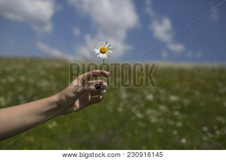 Spring, Chamomile Field. Chamomile Flower In Hand, Nature, Environment. Womens Day, Mothers Day, Bea