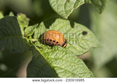 Colorado Beetle Larva On Potato Leaf. Pests Larva Destroy Crop, Insecticide, Bug. Parasites In Wildl