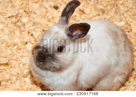 Domestic Rabbit A Domestic Rabbit (oryctolagus), More Commonly Known As Simply A Rabbit, Is Any Of T