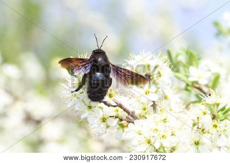 Carpenter Bee Xylocopa Violacea, Pollinate Bloomed Flowers