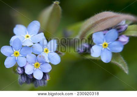 Myosotis Sylvatica . Forget Me Not In An English Garden