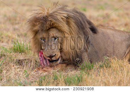 Lion Eating In The Kruger National Park South Africa