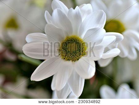 Beautiful White Spray Chrysanthemum Flower, Macro