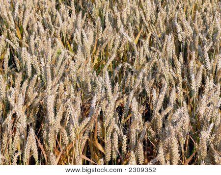 Wheat Nearly Ripened