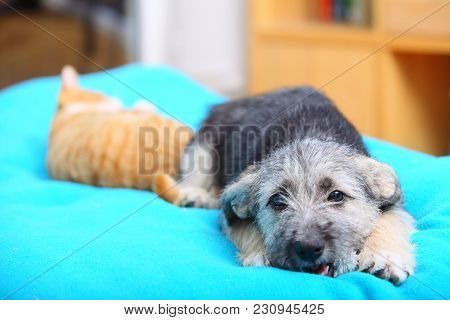Animals Pets At Home Dog Puppy Mutt And Little Red Cat Kitten Playing Together On Bed Blue Blanket