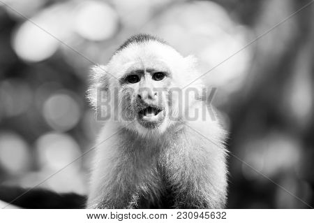 Capuchin With White Head Fur. Wild Animal On Blurred Natural Background. Primate In Jungle On Sunny
