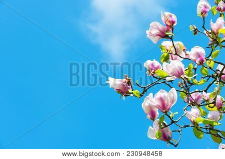 Magnolia Tree In Blossom On Blue Sky. Flowers Blossoming With Violet Petals On Sunny Day. Spring Sea