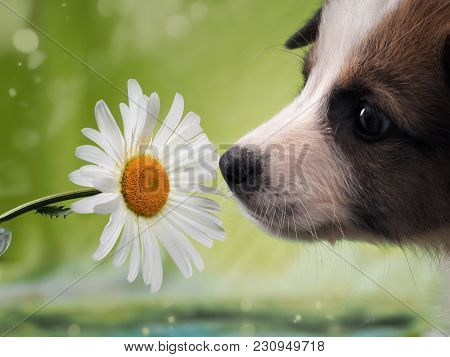 Dog Smelling The Flower. Funny Puppy Face
