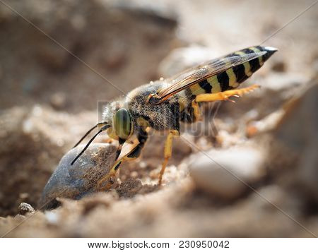 Bembix rostrata is digging a hole in the sand. Sand wasp dragging a huge stone poster