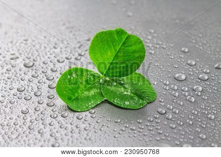 Clover Leaves On A Gray Background With Droplets Of Water. St.patrick 's Day.