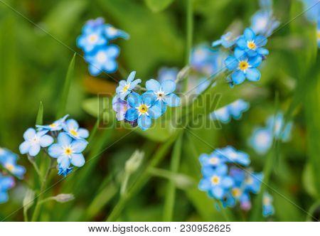 Water Forget-me-not Myosotis Scorpioides Myosotis Palustris Myosotis Flower. Spring Flower Backgroun