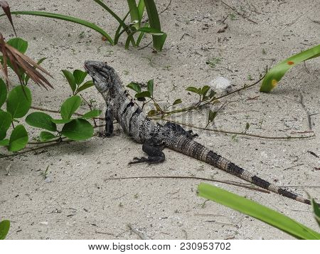 Black Spiny Tailed Iguana Wish Willy Resting In The Sand In Belize Central America