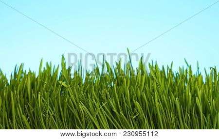 Spring Fresh Green Grass Close Up Over Background Of Clear Blue Sky, Low Angle View