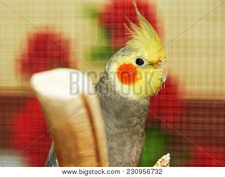 The Cockatiel (nymphicus Hollandicus). The Cockatiel, Also Known As The Quarrion, Is A Bird That Is