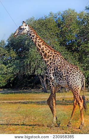 Large Adult Male Giraffe (giraffa Camelopardalis) Strolling Across The African Plains With A Bushvel