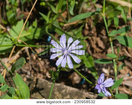 Common Chicory Or Cichorium Intybus Flowers Close-up, Selective Focus, Shallow Dof.