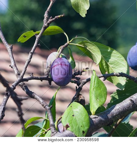 Riping Blue Plums On Tree In Garden Close-up, Selective Focus, Shallow Dof.