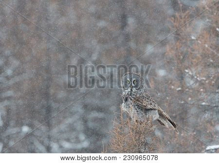 The Great Grey Owl Perched In A Dead Pine Tree On A Cold Snowy Evening.