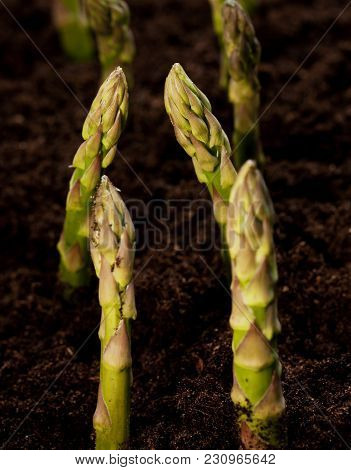 Twin Lines Of Organic Asparagus In Growing Field