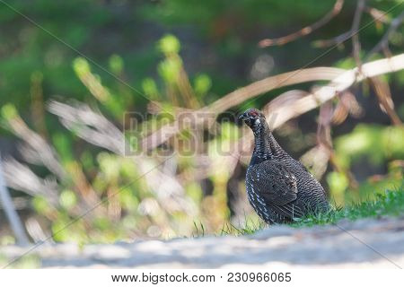 Spruce Grouse On Bright Sunlit Forest Background