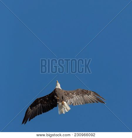 Bald Eagle In Flight From Below, In Sunlight And A  Blue Sky Background