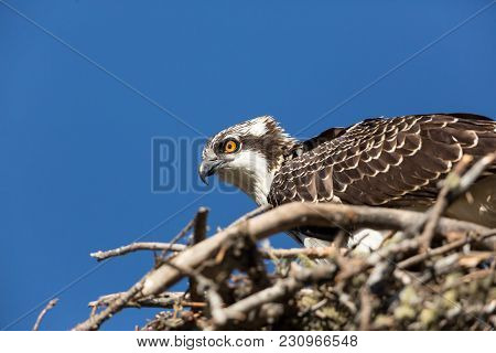 A Mother Osprey Defending Nest Even After Chick Is Fishing
