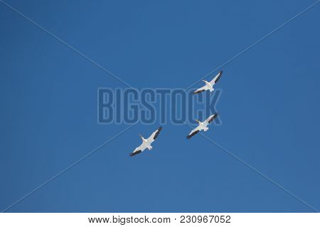 Three American Pelicans Flying  In Formation From Below On Bright  Blue Sky
