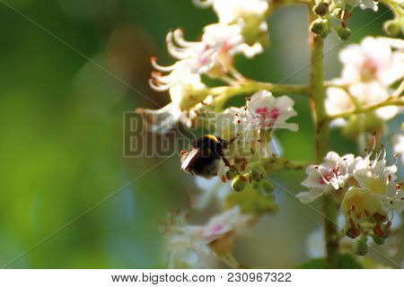 Bumblebee Pollinates White Plum Flowers In The Countryside