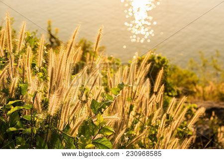 Tropical Grass In Golden Light At Sunse6 Near To The Ocean