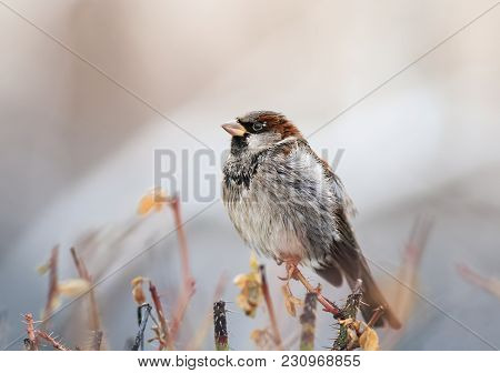 Portrait Of Funny Wet Little Sparrow Sits On A Prickly Bush And Dries Feathers On A Sunny Spring Day