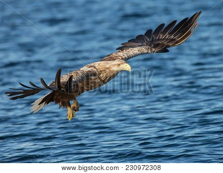 White-tailed Eagle (haliaeetus Albicilla) In Flight, Diving To The Water To Seize Its Prey In Norway